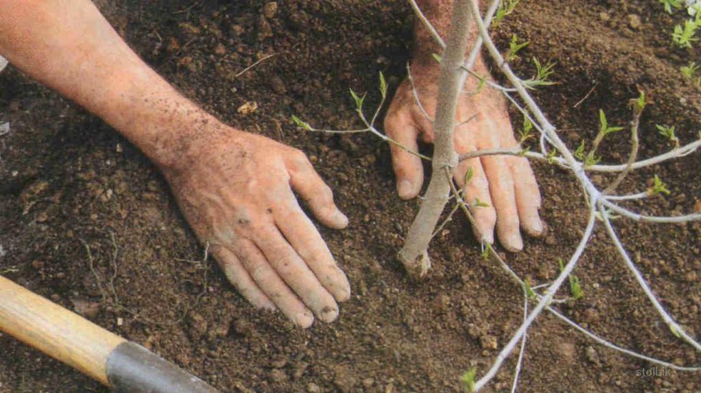 Когда осенью сажают саженцы вишни 160