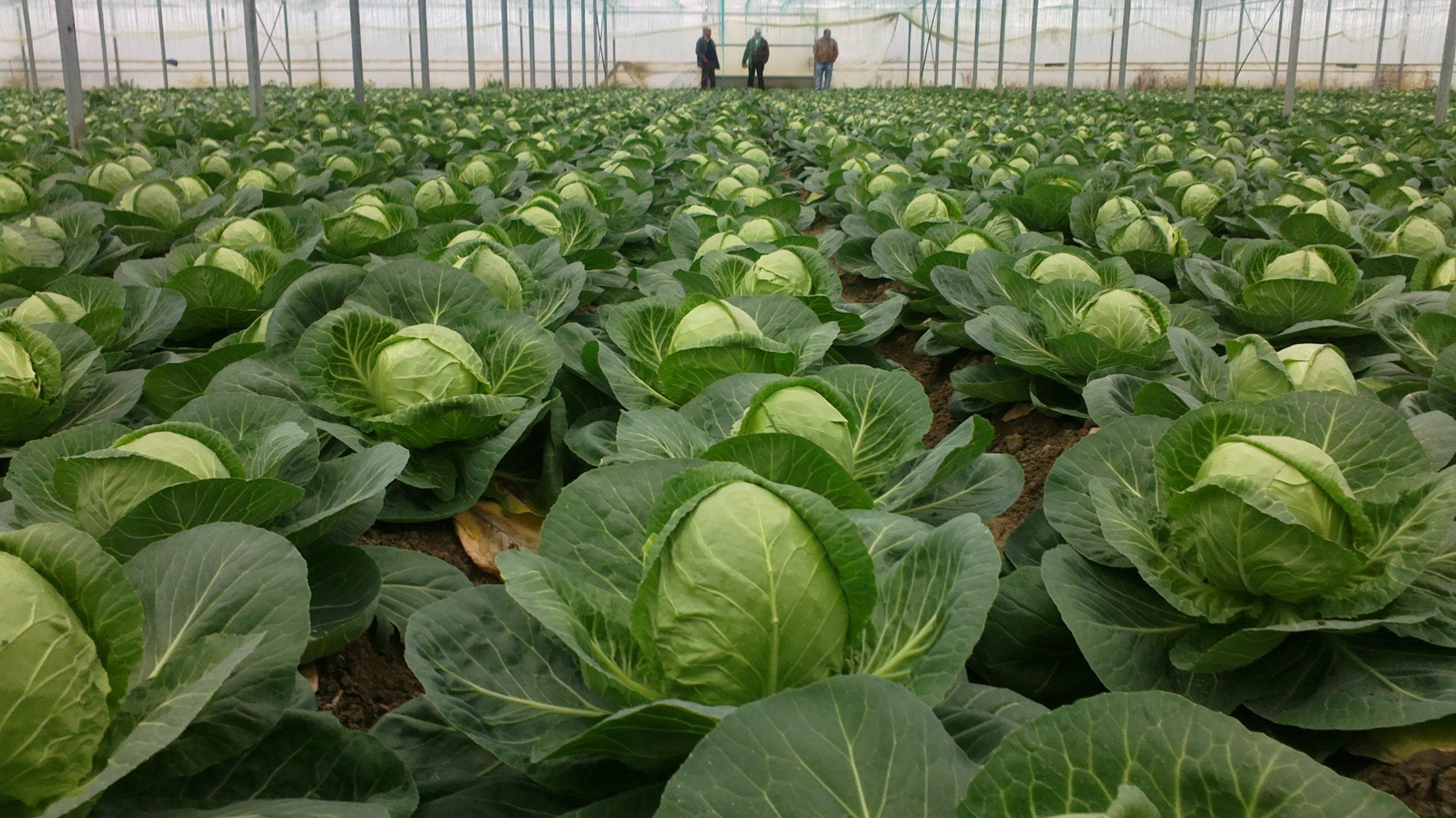 Все о выращивании капусты. Что надо знать 46