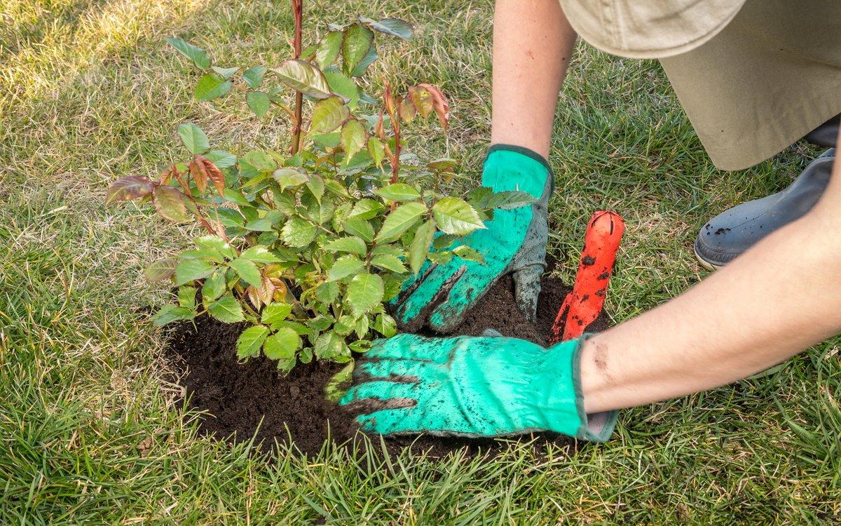 Выращивание карликовых роз в открытом грунте 5