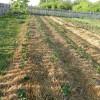 Посадка картофеля под солому: сено, технология, видео