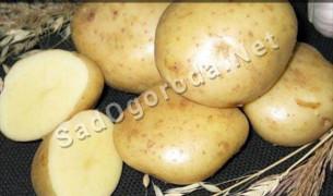 Картофель из семян посадка и уход.