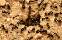 Как избавиться от муравьев в доме навсегда народные средства