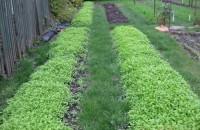 Как вывести пырей с огорода