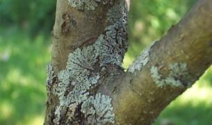 Как бороться с лишайником на деревьях