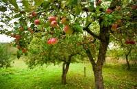Уход за яблоней. Выращивание, удобрение