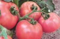 Сорта помидор которые не надо пасынковать