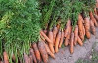 Как вырастить хороший урожай моркови: в открытом грунте, видео