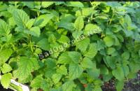 Полезные свойства листьев мелиссы