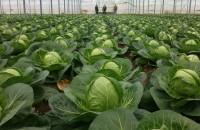 Уход за капустой. Выращивание капусты