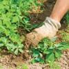 Как удалить сорняки с участка