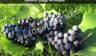 Виноград Альфа описание сорта