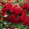 Посадка розы в открытый грунт весной и осенью