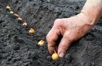 Как правильно посадить лук севок весной
