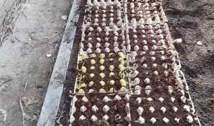 Посев моркови в ячейки из под яиц