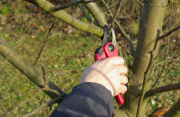 Как правильно сделать обрезку яблонь