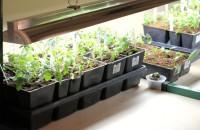 Выращивание рассады в домашних условиях: перца, томатов, огурцов