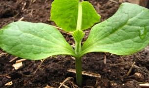 Выращивание кабачка