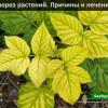 Хлороз растений причины и лечение