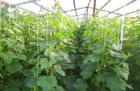 Выращивание огурцов в теплице: весной, летом, от а до я