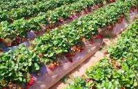 Как правильно сажать клубнику, чтобы получить хороший урожай