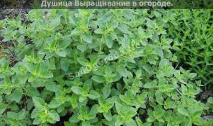 Какую зелень можно посадить в огороде
