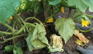 Листья огурцов желтеют, скручиваются