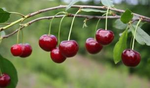 Уход за вишней и выращивание