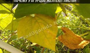 Почему у огурцов желтеют листья: по краю, сохнут