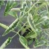 Почему листья у помидор скручиваются