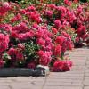 Бордюрные розы – прогулочная красота