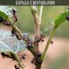 Борьба с муравьями народными средствами
