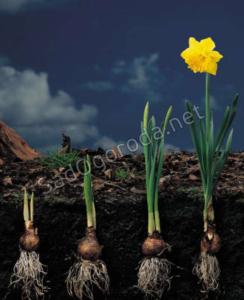 Тюльпан - способ размножения. Выращивание луковиц тюльпанов
