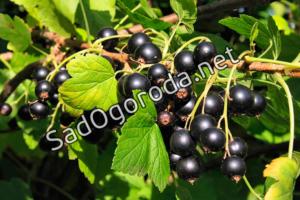 Технология успешного выращивания чёрной смородины