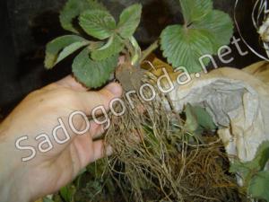 Рассада фриго особенности выращивания, хранения и посадки