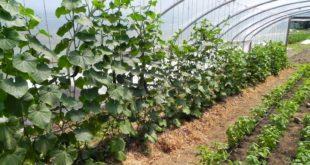 Greenbank Farm Walk, 072512, Cucumbers in Greenhouse
