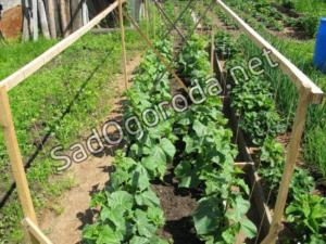 Огурцы – выращивание и уход: битва за урожай.