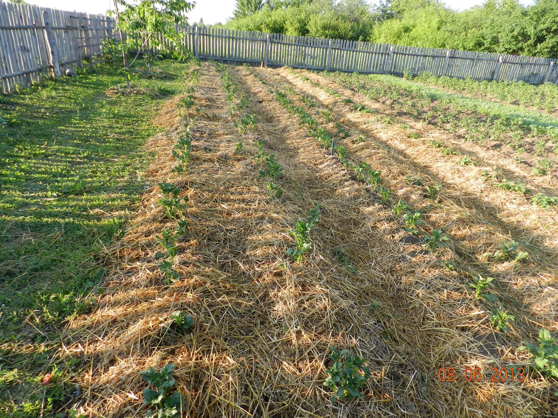 Выращивание картофеля под сеном и соломой 716