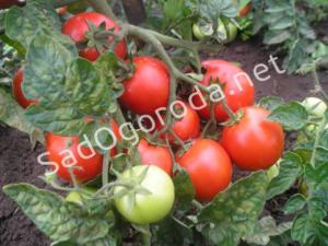 Уход за помидорами. Помидоры в огороде. Хороший урожай