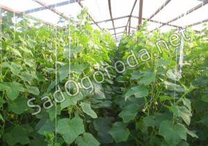 Огурцы – выращивание и уход: битва за урожай. Выращивание огурцов в парнике