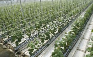 Огурцы – выращивание и уход: битва за урожай. Выращивание огурцов в парнике зимой
