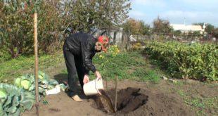 Посадка саженцев груши весной или осенью. Уход за саженцами