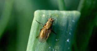 Как избавиться от луковой мухи. Чем обрабатывать луковую муху. Желтеет