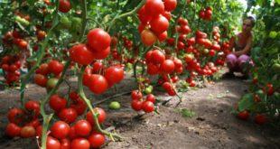Как вырастить хороший урожай помидоров. Большой урожай
