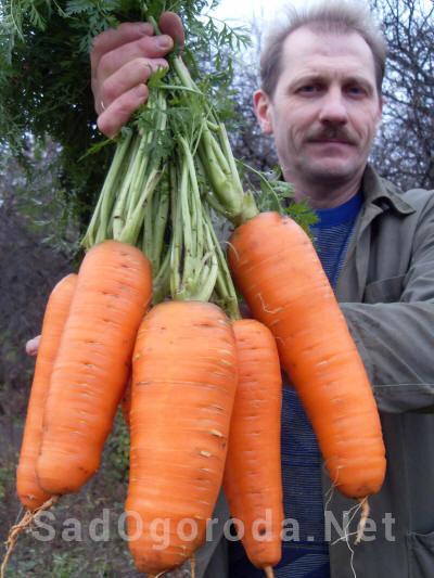 Как вырастить крупную морковь на огороде. Правильно выращиваем.