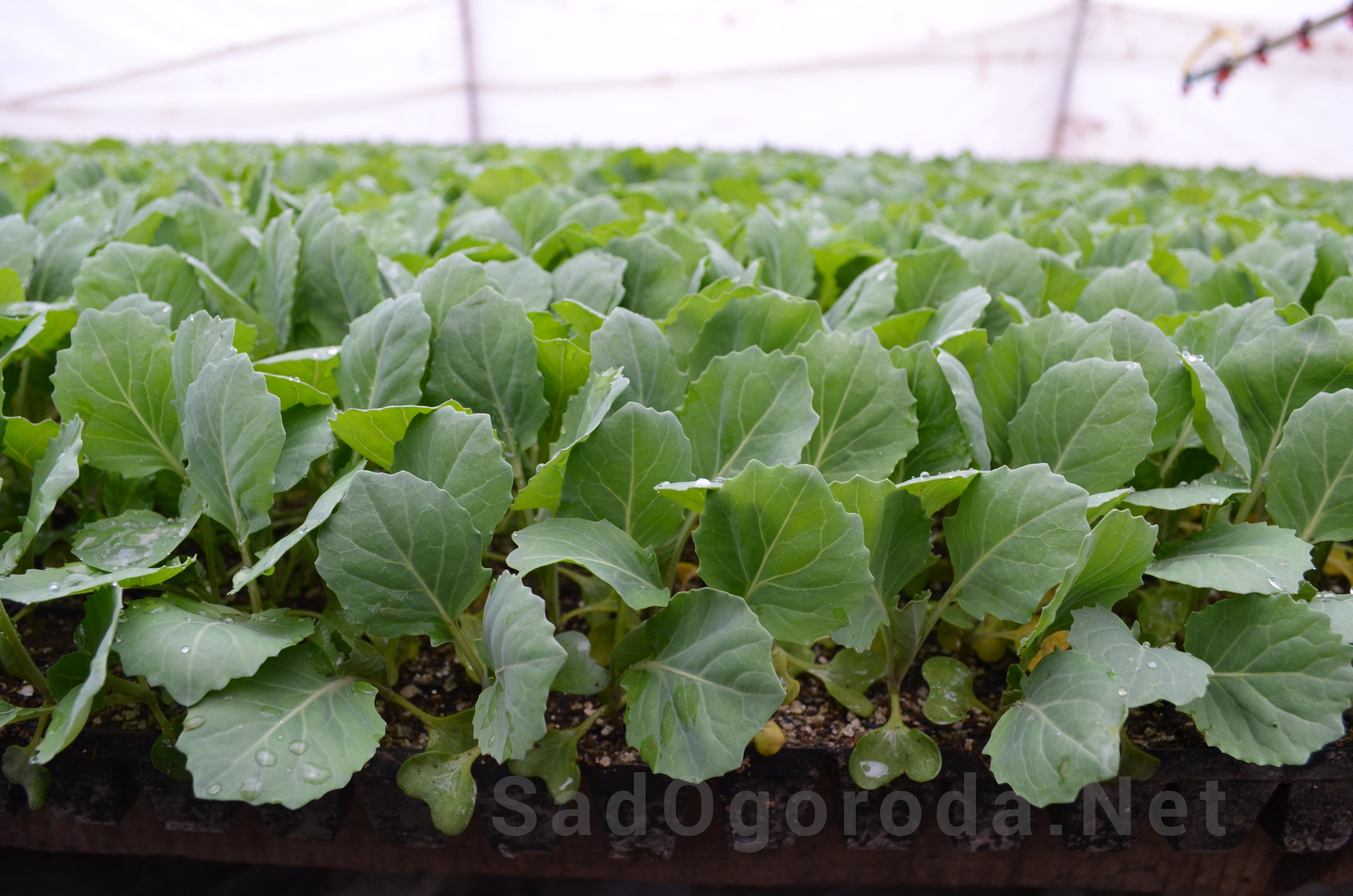 Выращивание капусты в открытом грунте. Белокочанная капуста