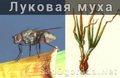 Как избавиться от луковой мухи. Чем обрабатывать луковую муху