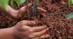Посадка вишни. Как правильно посадить саженец вишни. Видео.