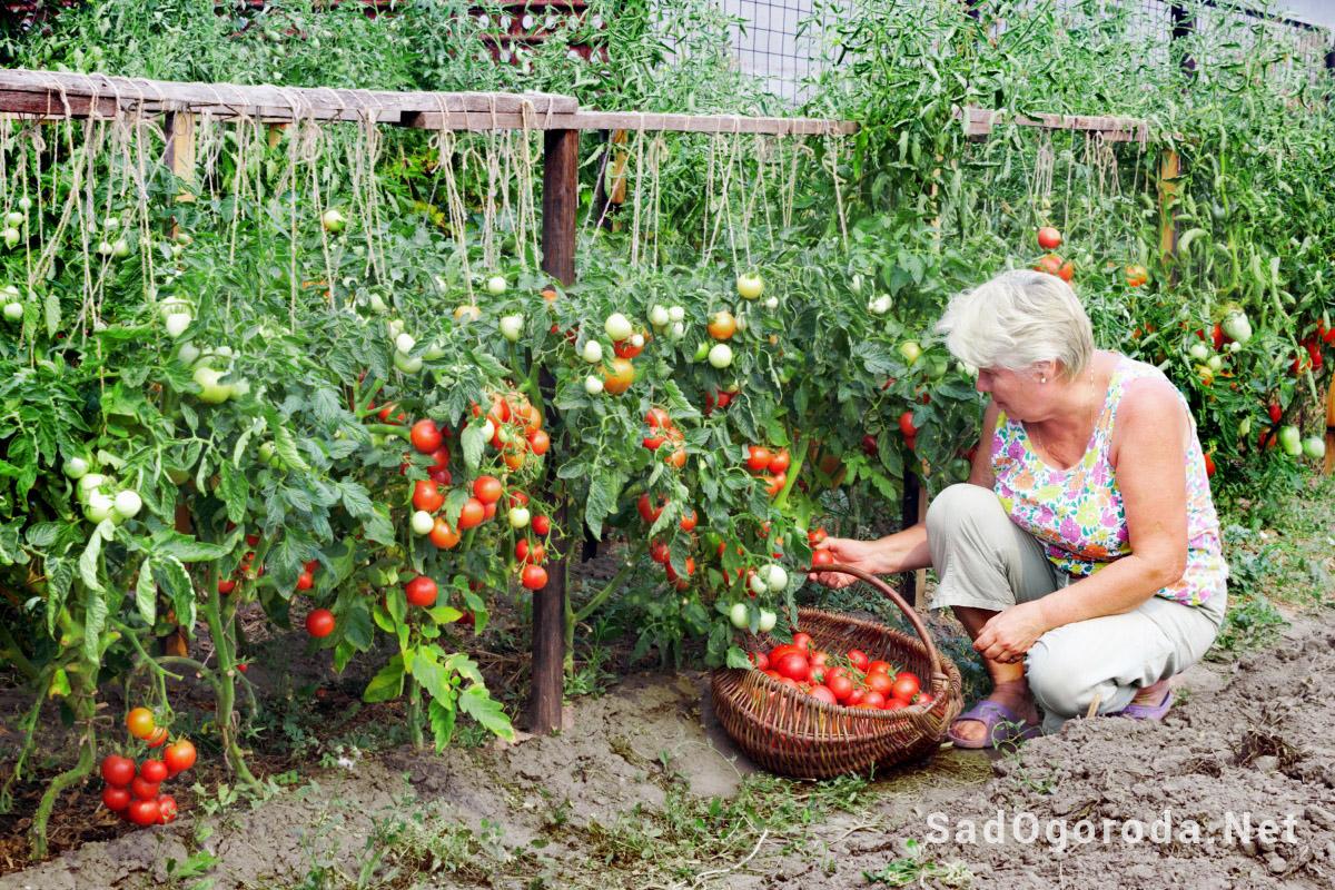 Сбор-помидоров