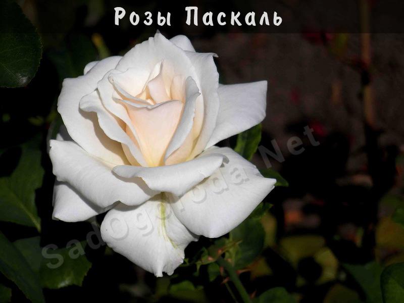 Сорт роз Паскаль. Посадка роз весной. Сроки посадки роз осенью. Место для посадки