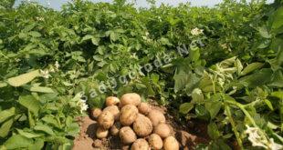 Какое удобрение лучше для картофеля при посадке в лунку